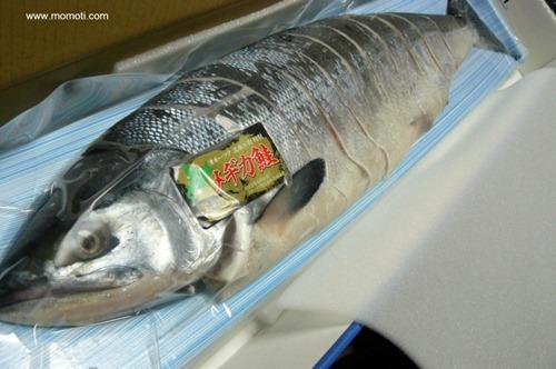 メヂカ鮭(目近鮭)