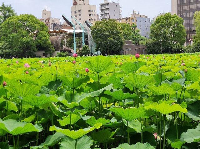 不忍池の蓮の花