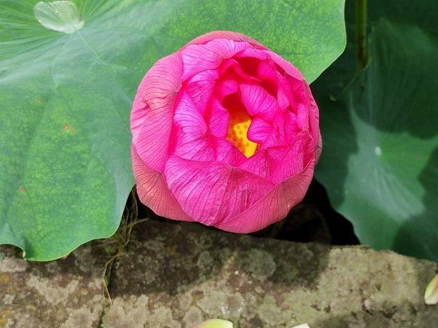 まだ完全には開いていない不忍池の蓮の花