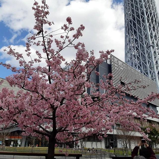満開の「河津桜」と「東京スカイツリー」。(東武橋:墨田区向島1丁目)