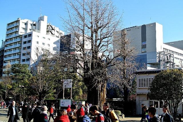 浅草寺の神木・いちょう